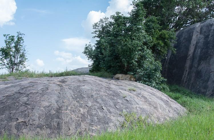 schlafender Löwe auf der Boma Kopje