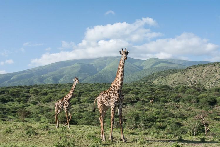 Giraffen leben außerhalb des Kraters