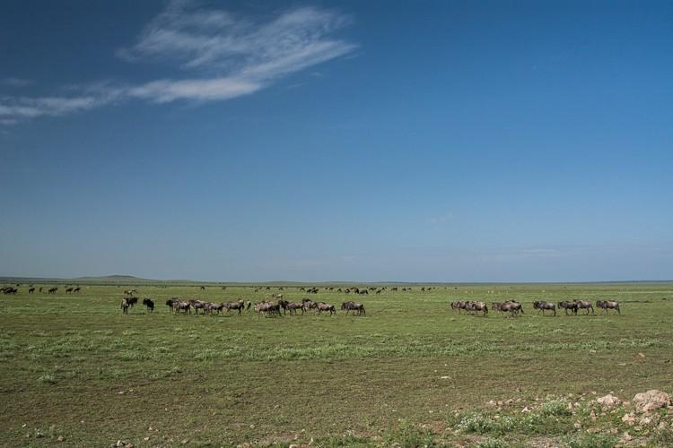 Gnus zwischen Ngorongoro und Serengeti