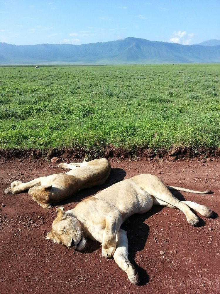 satte und müde Löwen