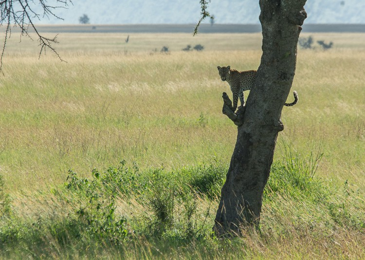 Leoprad in der Zentral Serengeti