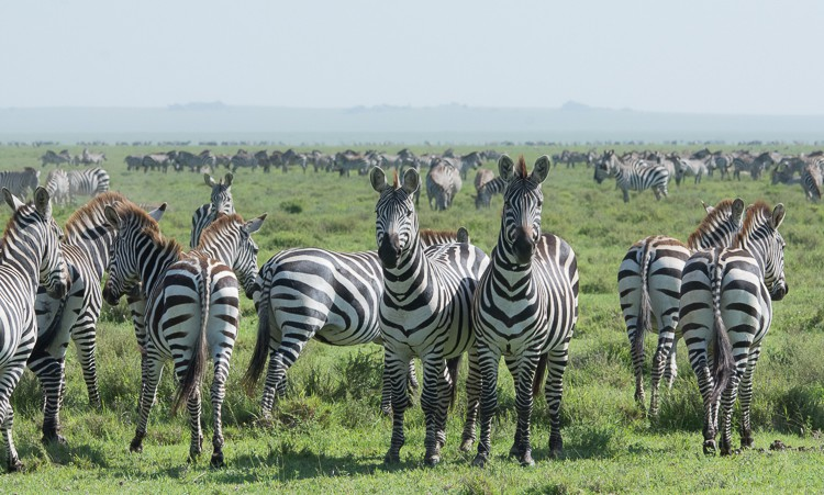 Zebras sind einfach fotogen, oder?!!