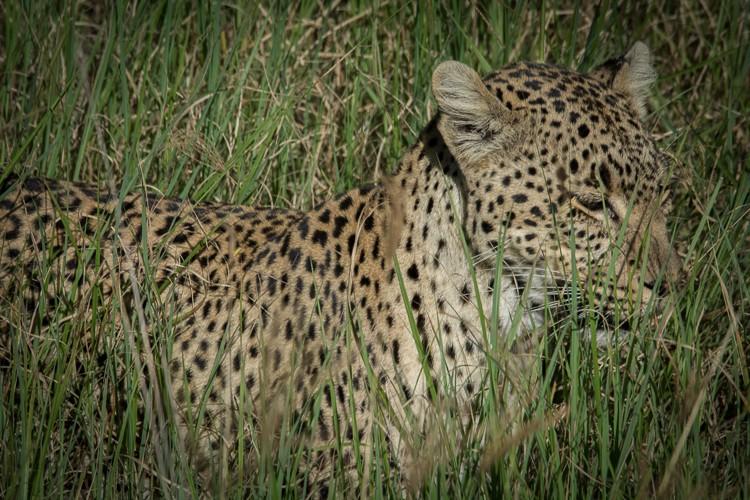 ganz nah, Leopard im Gras
