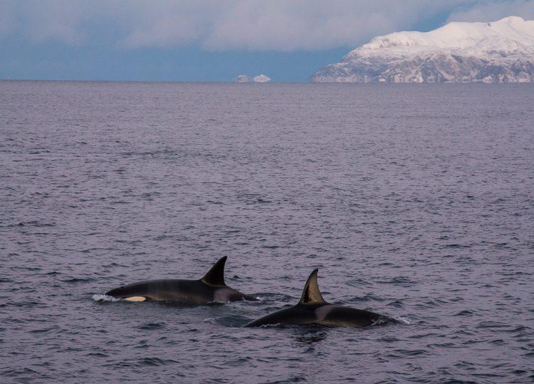 Schwertwale (Orcas)