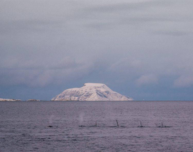 Orcas auf Heringsjagd