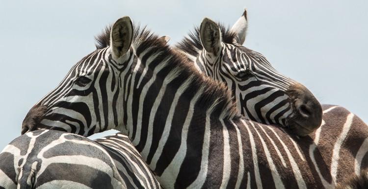 Zebras sind sehr soziale Tiere