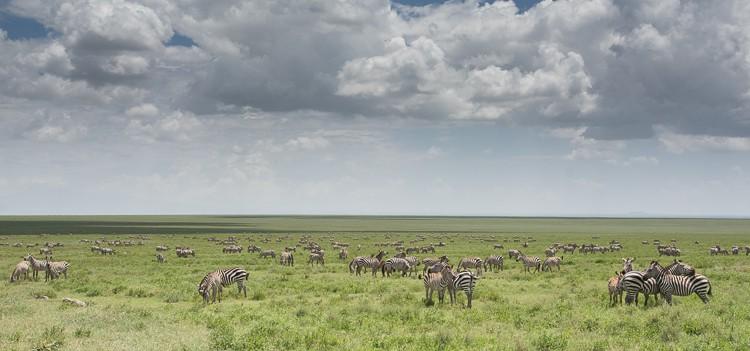 Zebras, so weit das Auge reicht