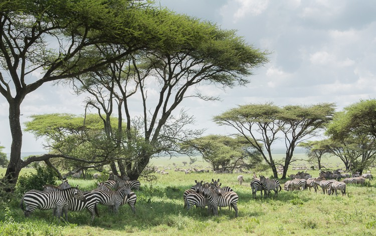 Wie viele Zebras kannst du zählen?