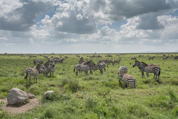 Zebras, Zebras, Zebras!