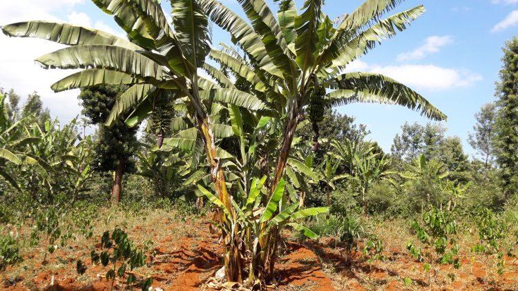 Bananenpflanzen auf der Kaffeeplantage