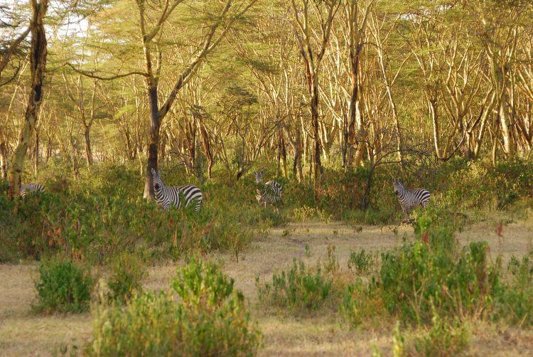 die Zebras beobachten mich