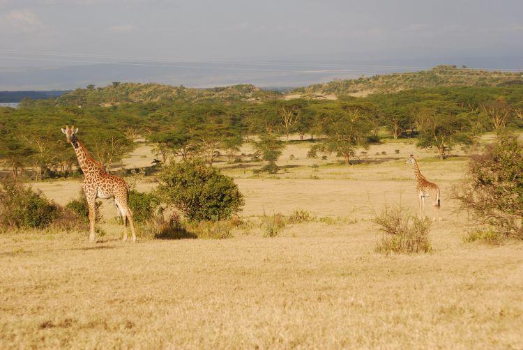 Giraffenbegegnung