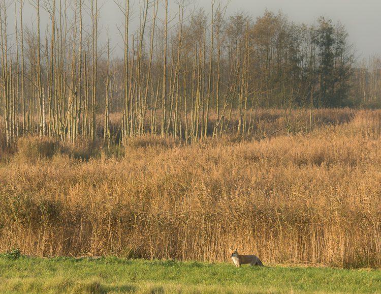 Rotfuchs auf der Halbinsel Zingst