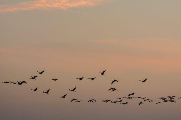 Kranichflug zum Sonnenuntergang