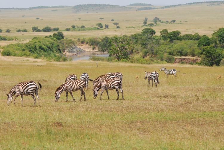 Zebras am Mara Fluss