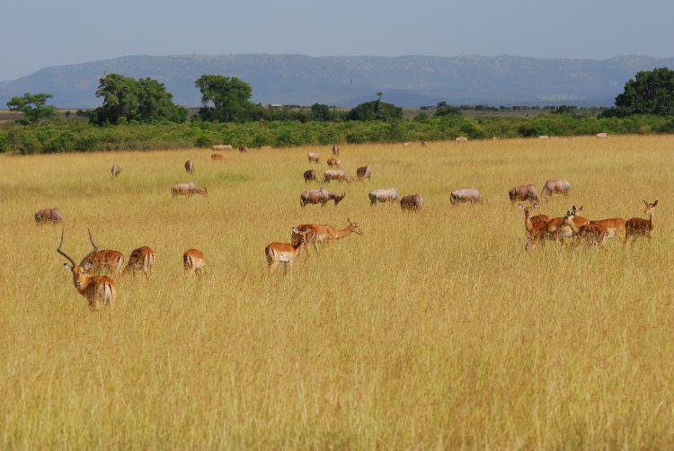 Impalas und Topi Antilopen im Adrenalin-Gras