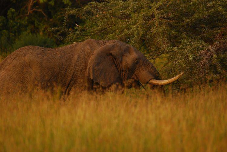 Elefantenbulle im Abendlicht