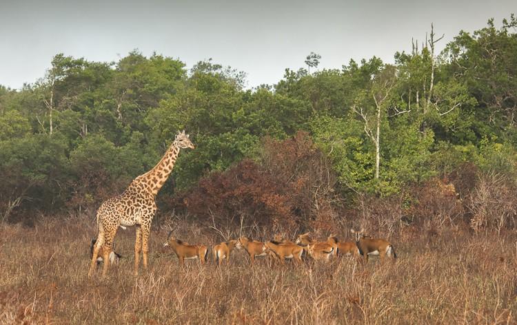 eine Giraffe und Rappenantilopen in Shimba Hills