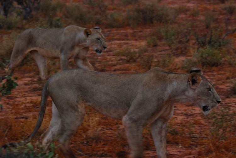 Löwinnen im Morgengrauen