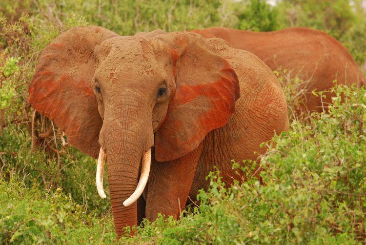 aufmerksamer Elefant