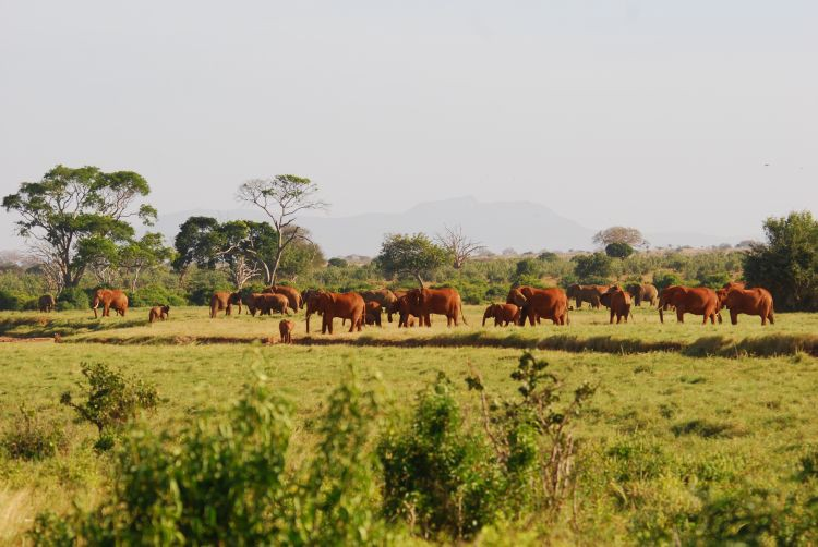 Tsavo Elefanten