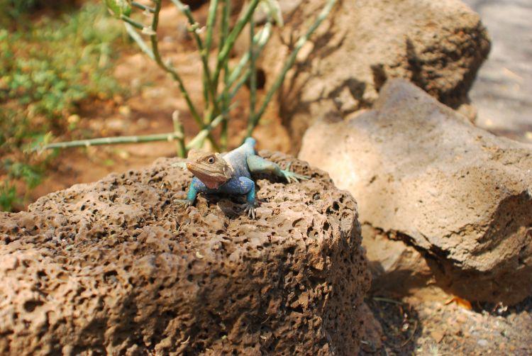 Agamen, wie diese, sind im Tsavo heimisch