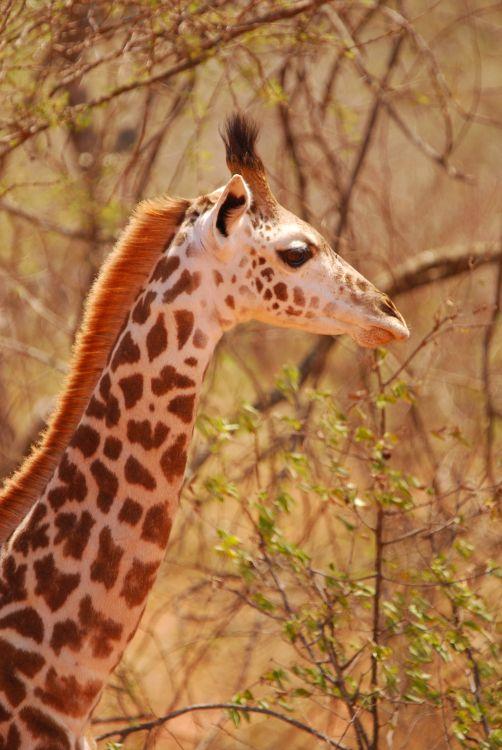 junge Giraffe im Tsavo West