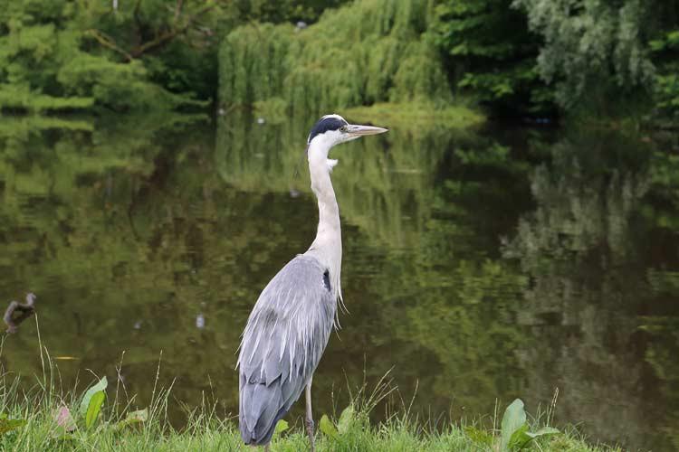GoOnTravel.de: Fischreiher im Vondelpark von Amsterdam
