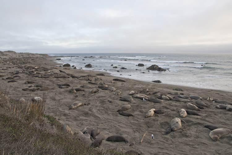 Der Elephant Seal Rookery bei Piedras Blancas