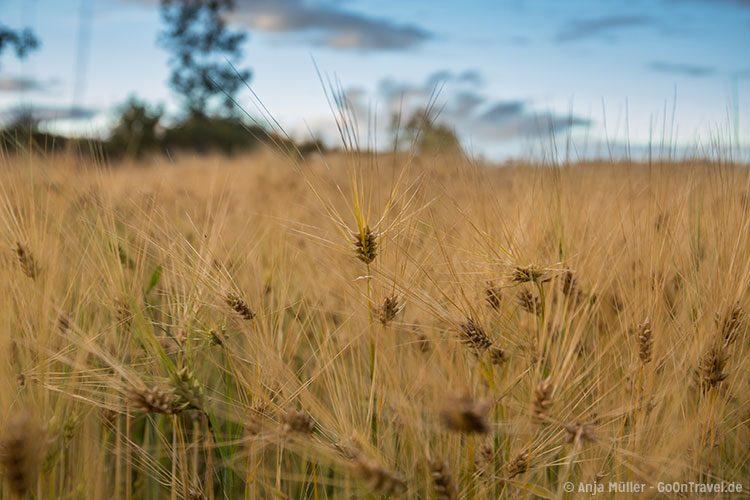 GoOnTravel.de: Getreideanbau af einer ökologischen Farm im Osten von Island