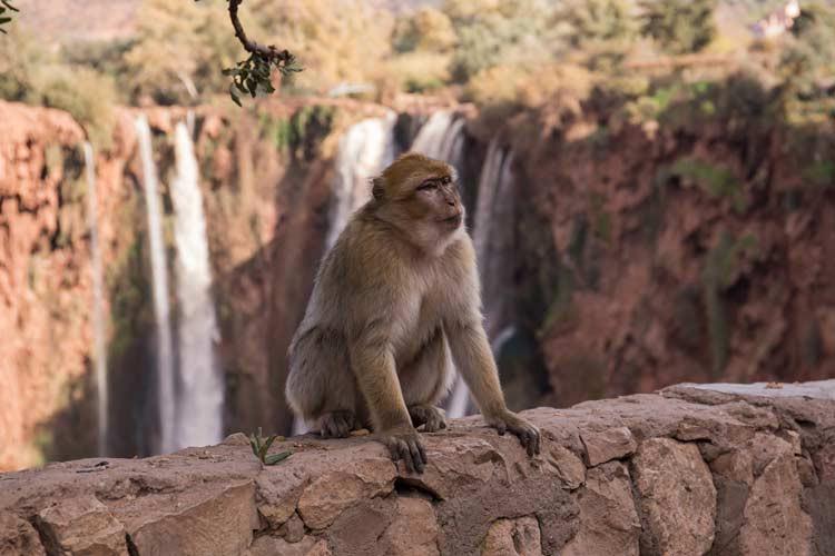 Berber-Affe vor den Ouzoud-Wasserfälle in Marokko