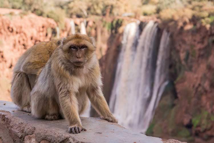 Berber-Affen vor den Ouzoud-Wasserfälle in Marokko