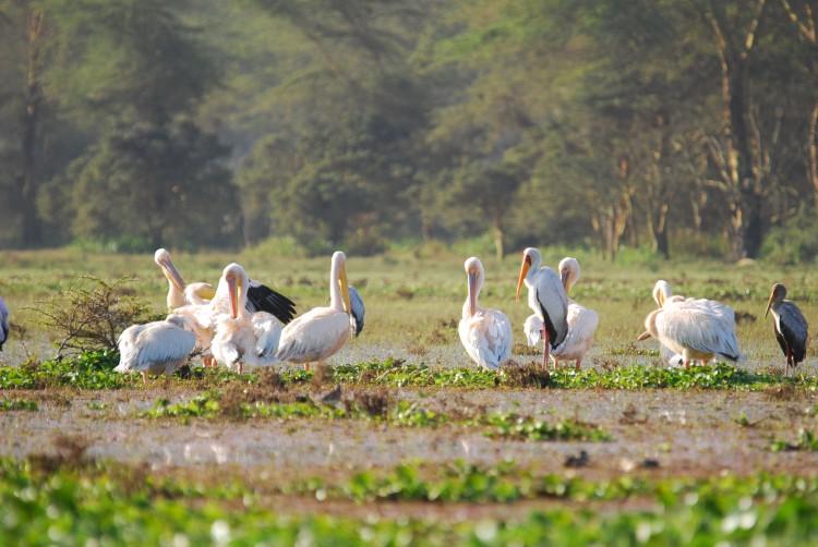 Pelikane und Störche
