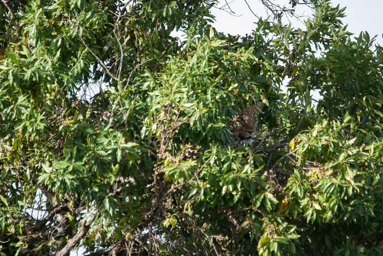 © Anne-Katrin Gerner - GoOnTravel.de: Endlich entdeckt - der Leopard!