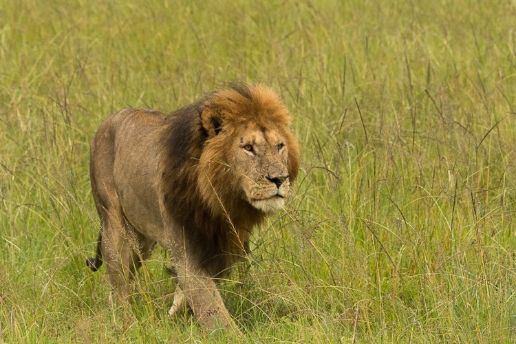 ein stattlicher Löwe in der grünen Savanne der Maasai Mara