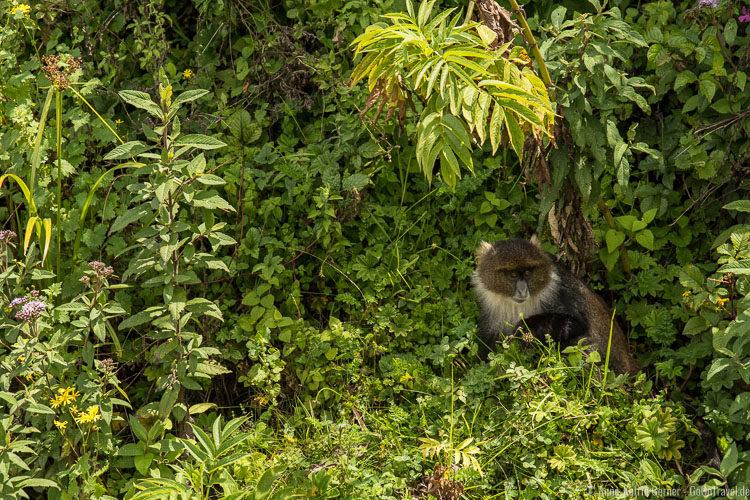 Meerkatze in den Aberdares