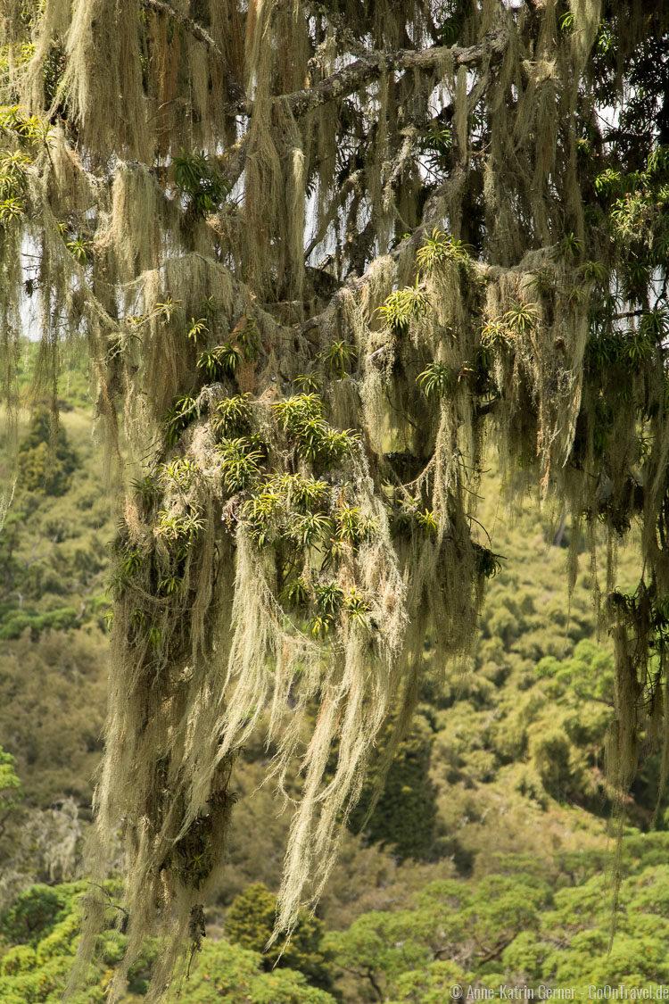 flechtenbehangener Baum in den Aberdare Nationalpark