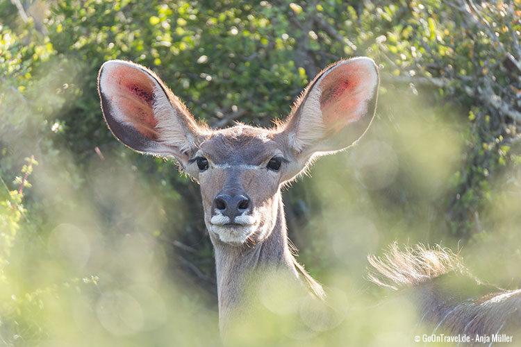 Ein weibliches Kudu