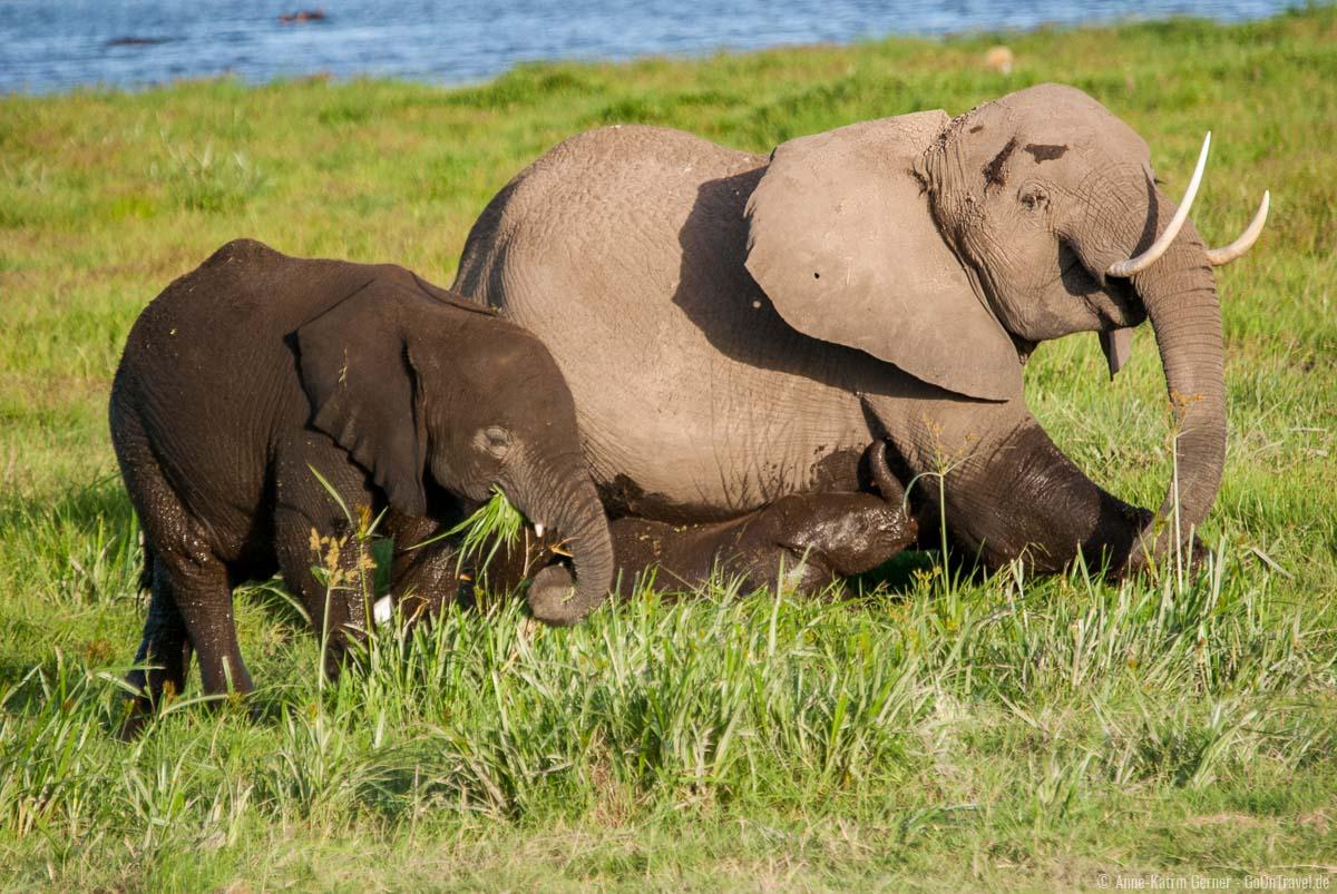 Elefantenfamilie in den Sümpfen im Amboseli Nationalpark