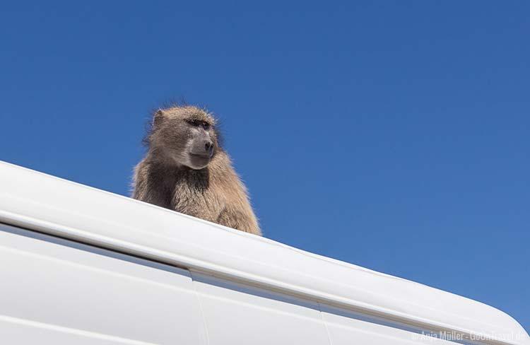 Ein Baboon auf einem Autodach
