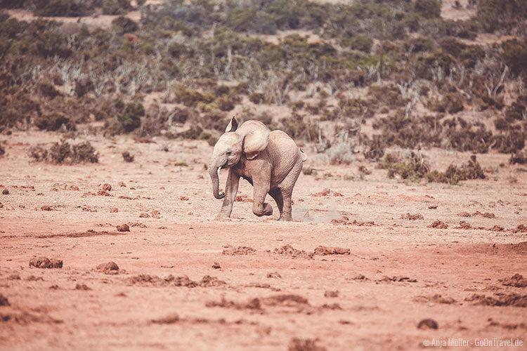 Ein junger Elefant der es kaum abwarten kann zum Wasserloch zu kommen.