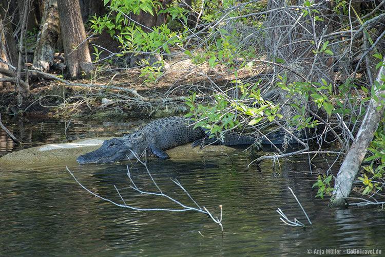 Die ersten Alligatoren, die gesichtet werden.