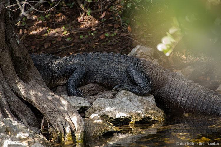 Überall in den Sümpfen sind Alligatoren zu entdecken, die sich im Schatten der Bäume verstecken.