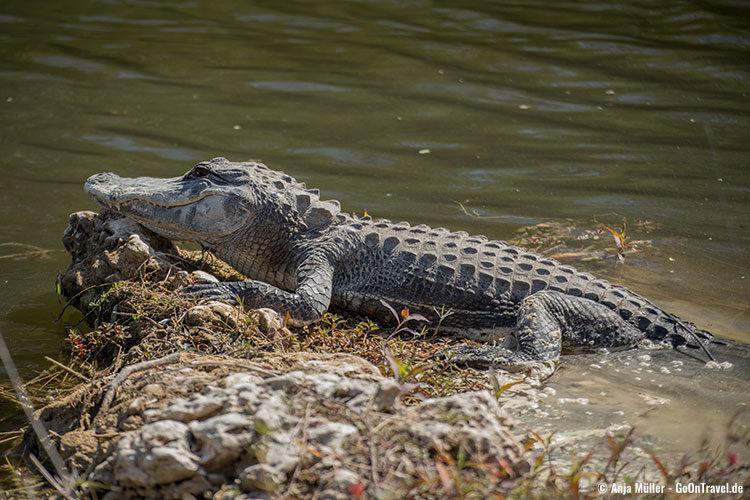 Noch sitzt der Alligator hier vor dem Wasser ...
