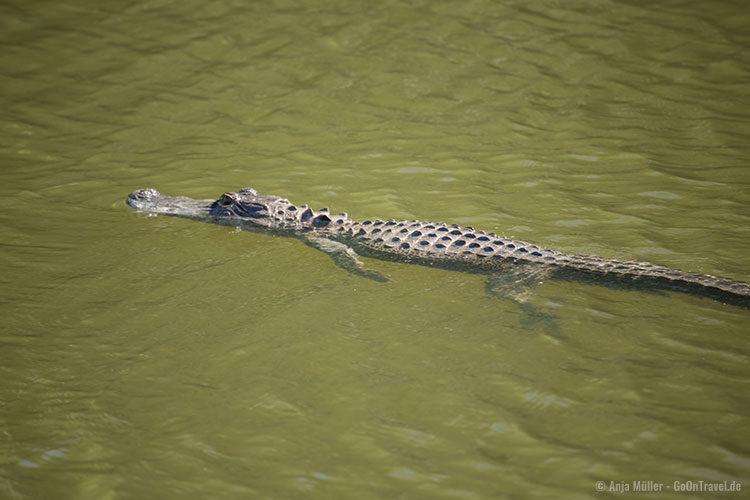 ... kurz darauf schwimmt der Alligator im Wasser davon