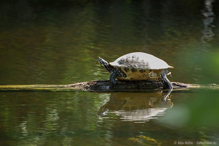 Eine Schildkröte, die sich hier sonnt.