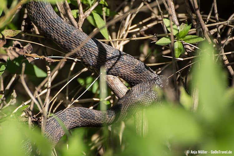 Eine Schlange im Gebüsch, ist diese hier gefährlich?