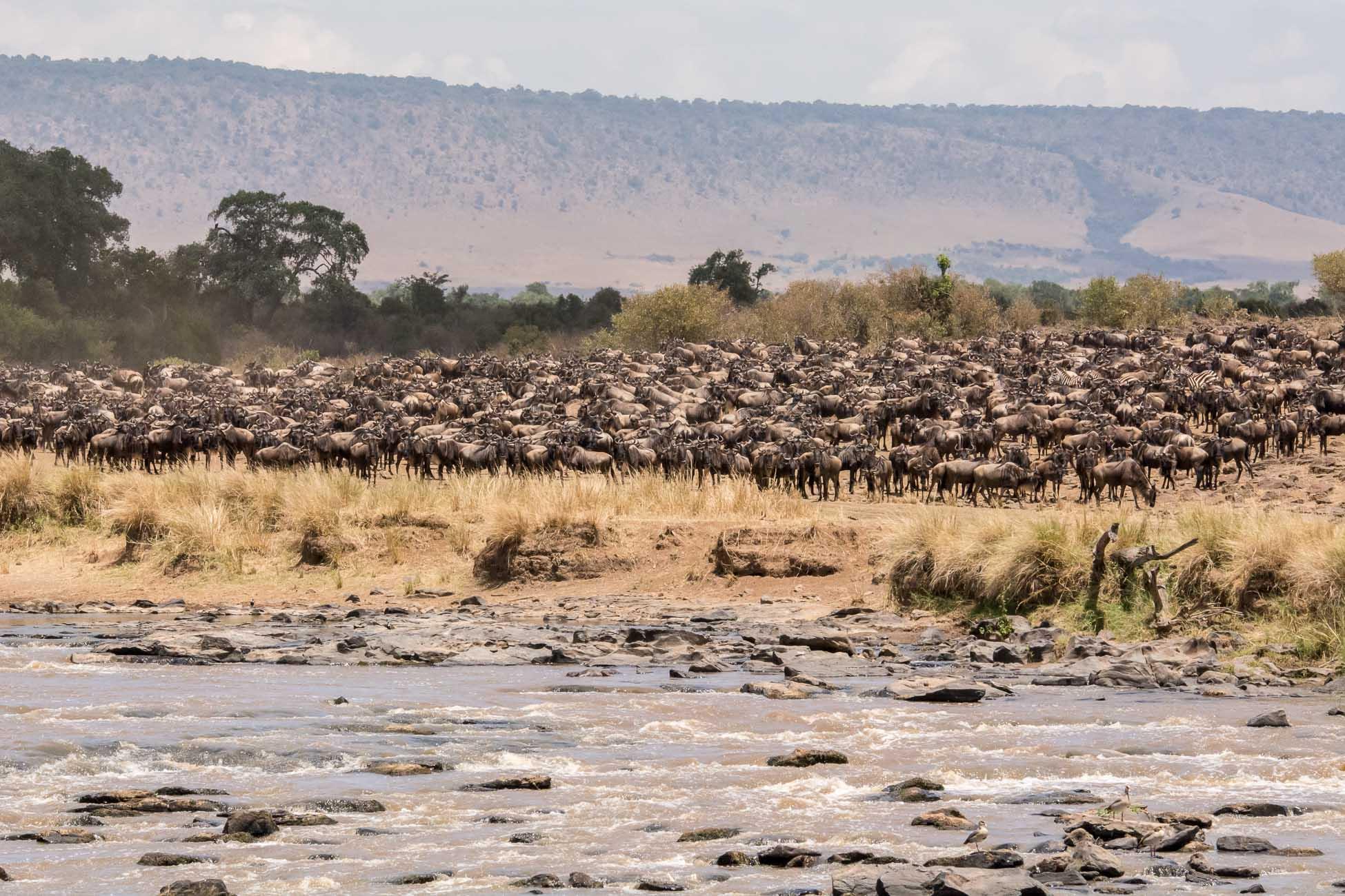Big Migration Kenia Grosse Tierwanderung Gnus