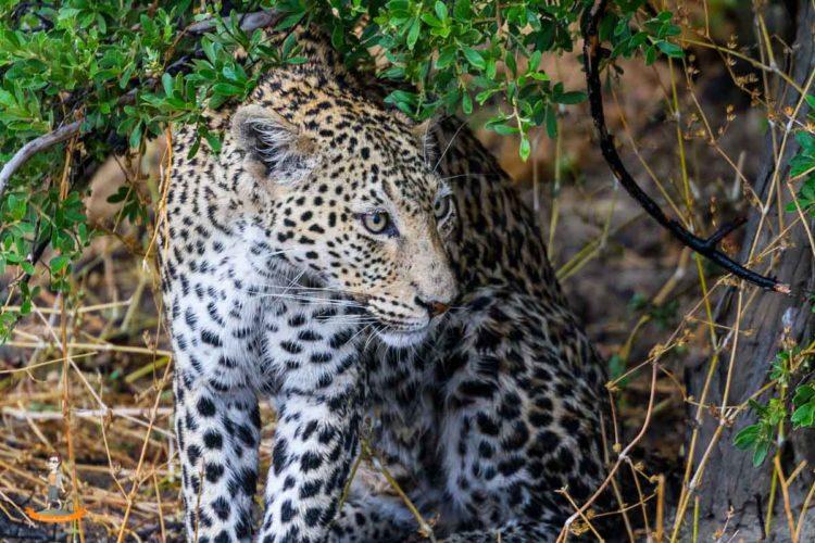 Highlight der Botswana Reise, die Sichtung eines Leoparden