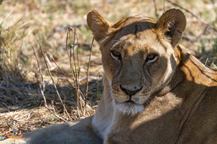 Eine Löwin im Chobe Nationalpark